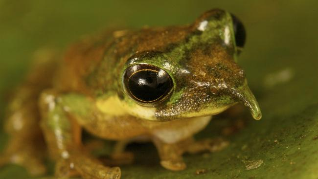 Image result for pinocchio frog