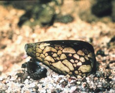 Deadliest Animals - Marbled Cone Snail
