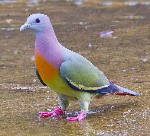 http://www.wild-facts.com/wp-content/uploads/2013/01/Pink-Necked-Green-Pigeon.jpg