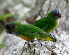 Smallest Parrot In the World - Pygmy Parrot