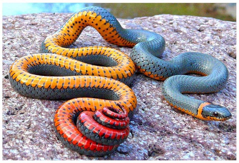 Regal Ringneck Snake