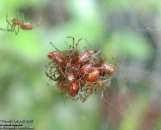 Raining Spiders - Anelosimus eximius