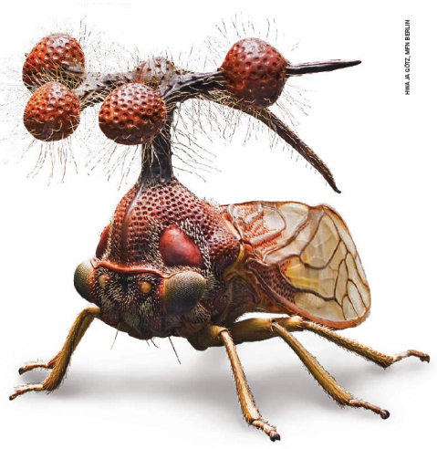Brazilian Treehopper