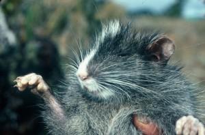 New Species - Chinchilla Tree Rat