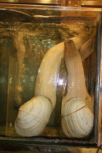 How to dig for Geoduck Clams