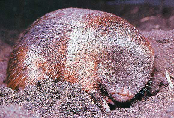 The Golden Mole