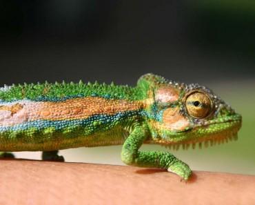 Minute Leaf Chameleon