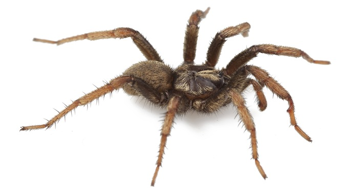 Spider named after Barack Obama