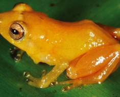 Bright Yellow Rain Frog