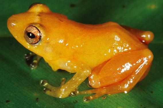 Bright Yellow Rain Frog