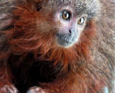 Bushy Bearded Titi Monkey