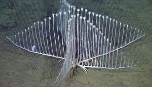 Carnivorous Sponge - Harp Sponge