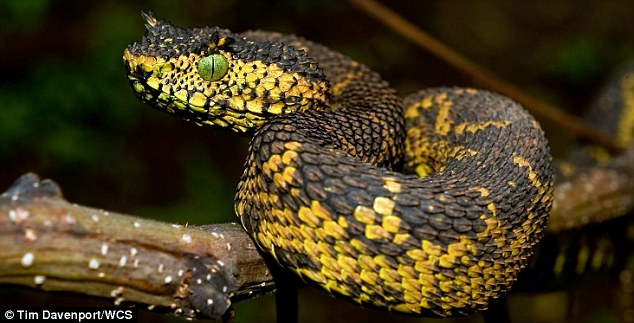 Matilda's Horned Viper