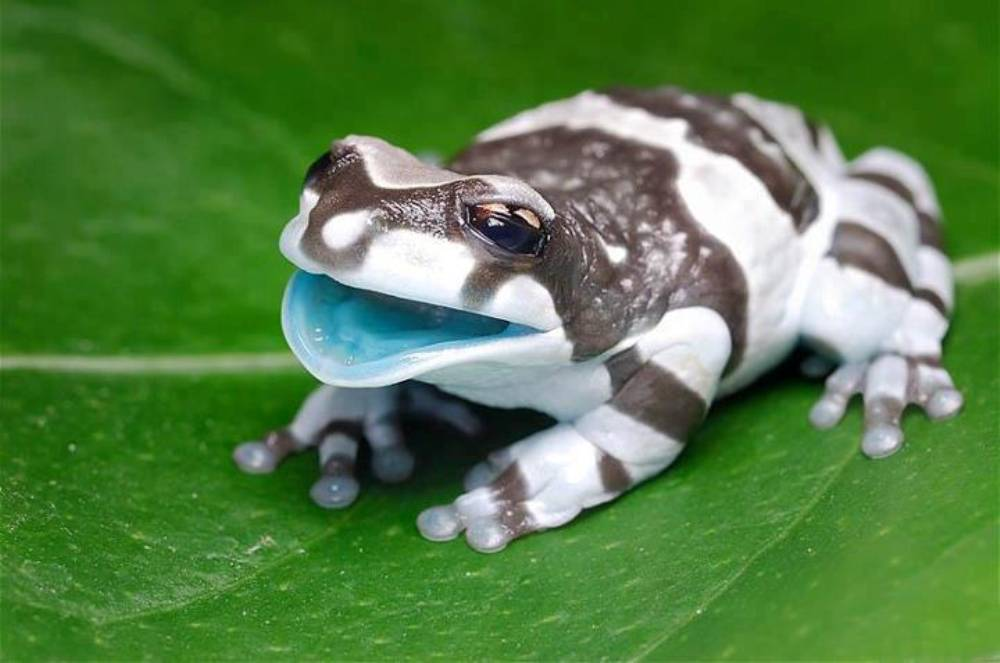[Image: amazon-milk-frog.jpg]
