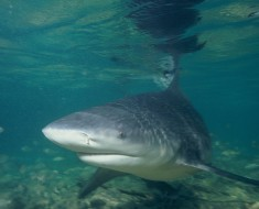 Most Dangerous Shark - Bull Shark