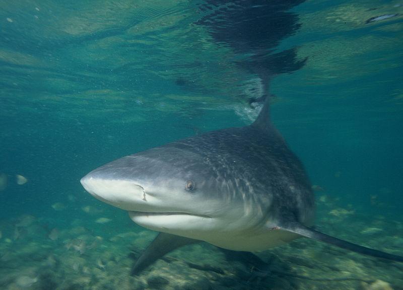 Worlds Most Dangerous Shark - Bull Shark