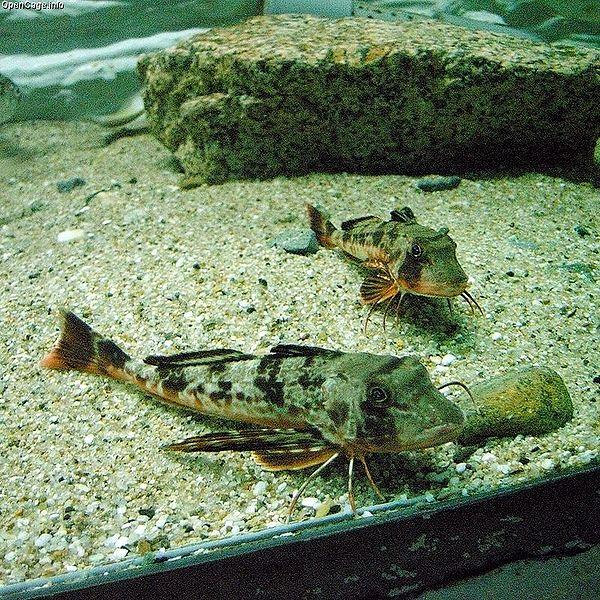 Sea Robin