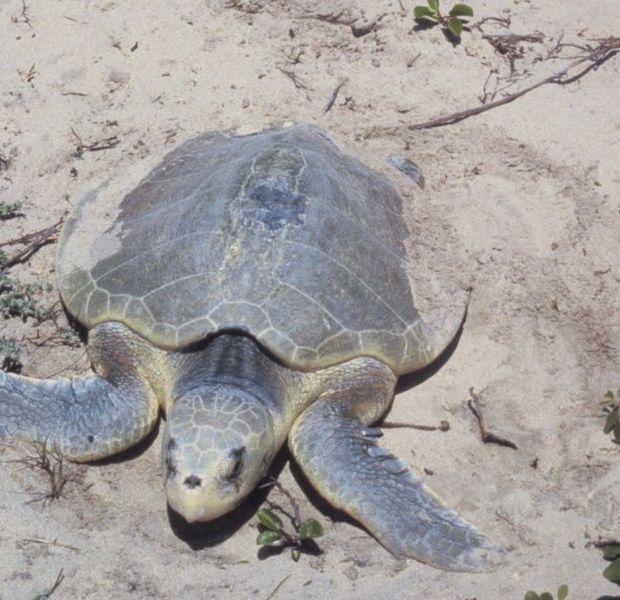 Kemp Ridley's Sea Turtle