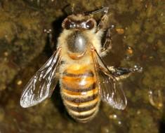 Japanese Honeybee