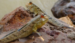 800px-GambianMudskippers