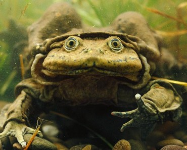 Lake Titicaca Water Frog