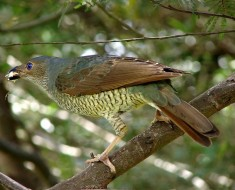 Female Satin Bowerbird