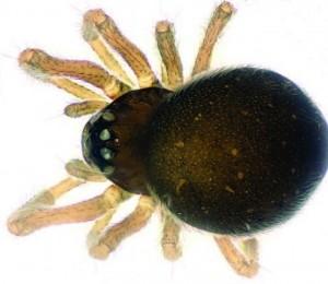 Mysmena wawuensis