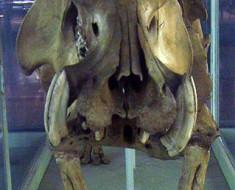 Madagascar Dwarf Hippopotamus