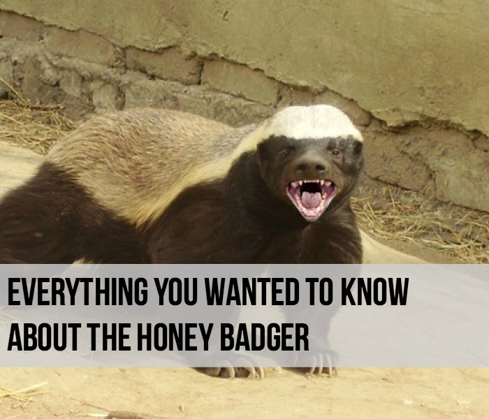 Honey Badger Facts - Main