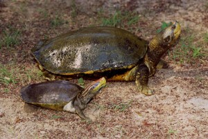 Red-Crowned River Turtle