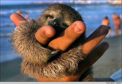 Pygmy Three Toed Sloth