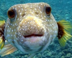 Deadly Pufferfish