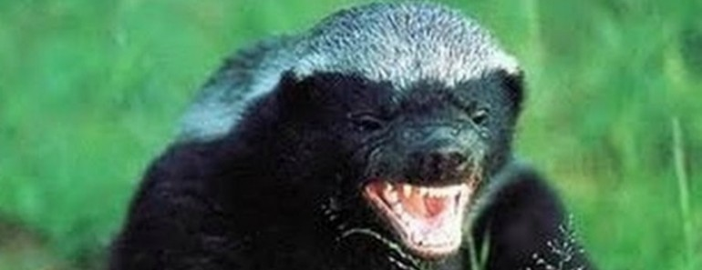 5 Crazy Things You Didn't Know About the Honey Badger - Featured