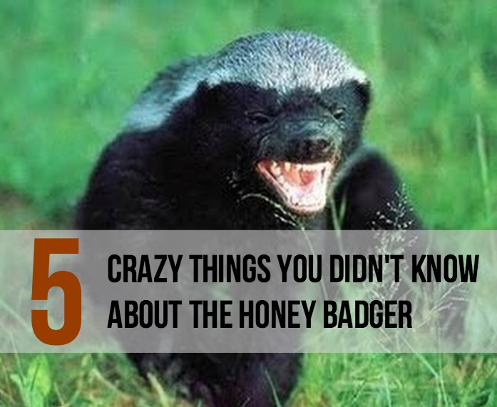5 Crazy Things You Didn't Know About the Honey Badger - Main
