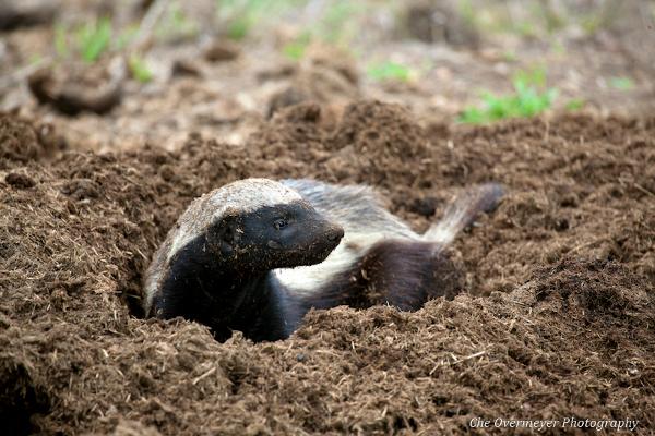 Honey Badger Digging