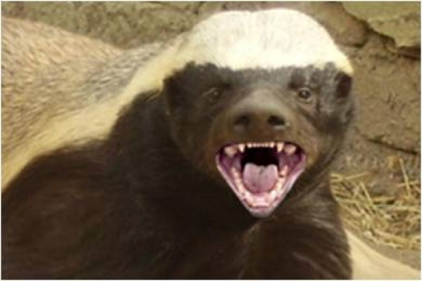 Honey Badger and the Strong Jaw