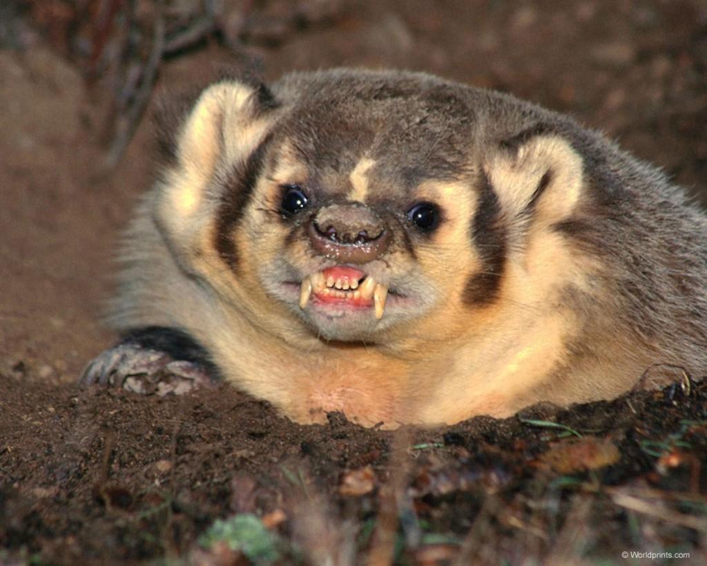 Honey Badger with Tough Skin