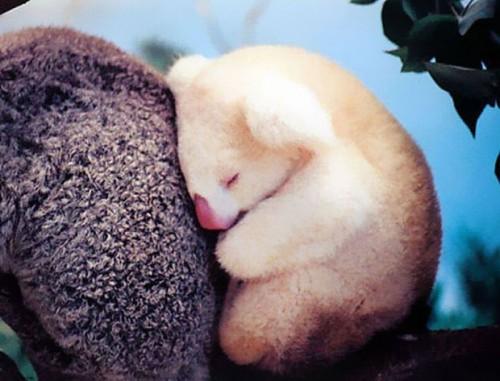 12. Baby Koala