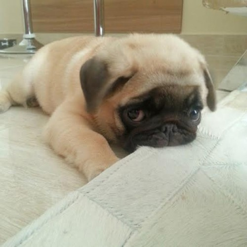 2. The Pug