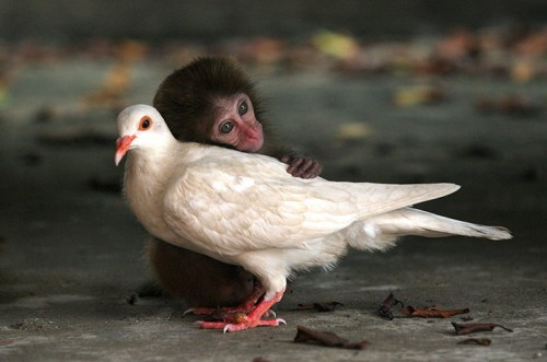 8. Baby Monkey And The White Pigeon