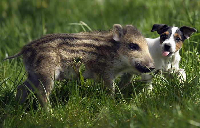 Boar Piglet and a Dog