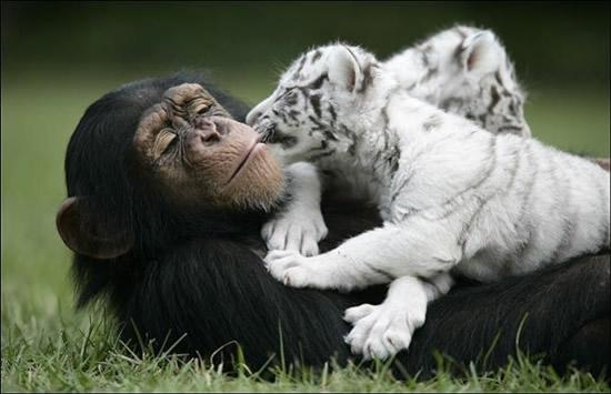 Chimpanzee and Tiger Cubs