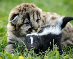 Lion Cub and Baby Skunk
