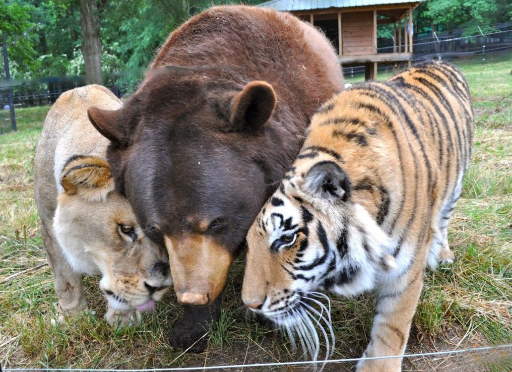 Tiger, Lion and Bear