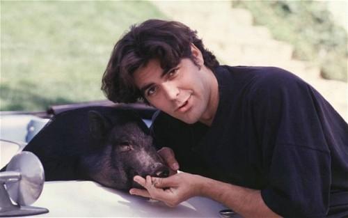 pot bellied pig george clooney