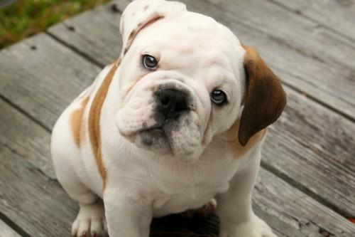 1. Bulldog