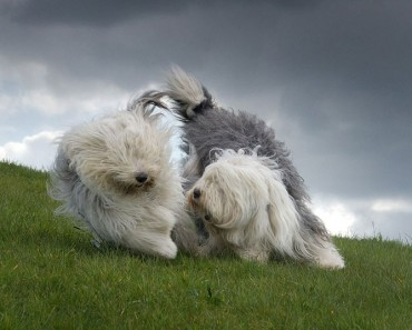 2. Old English Sheepdog