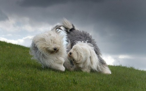 2. Old English Sheepdog