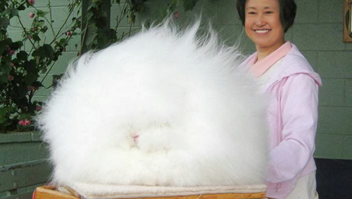 3. Angora Rabbit