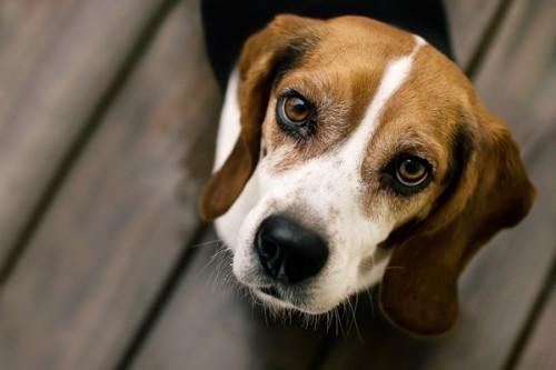 3.  Beagle
